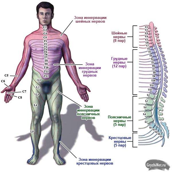 схема иннервации позвоночных нервов